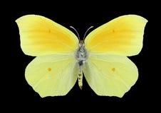 Motylia Gonepteryx aspasia kobieta Obrazy Royalty Free