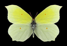 Motylia Gonepteryx aspasia samiec Obrazy Royalty Free
