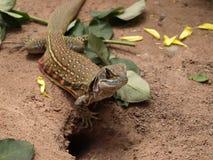 Motylia jaszczurka na naturze Zdjęcie Stock