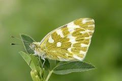 motylia kapusta zdjęcie stock