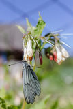 Motylia kapusta na kwiacie w poszukiwaniu słodkiego nektaru zdjęcie stock