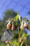Motylia kapusta na kwiacie zbiera nektar Obrazy Stock