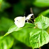 Motylia kapusta zapyla purpurowego kwiatu zdjęcie stock