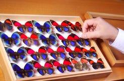 motylia kolekcja Zdjęcie Stock