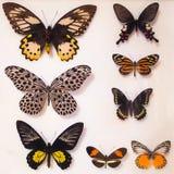 Motylia kolekcja pod szkłem Obrazy Stock