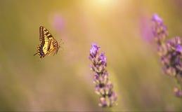 Motylia komarnica lawendowy kwiat Zdjęcia Royalty Free