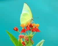 Motylia komarnica w ranek naturze Obrazy Stock