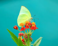 Motylia komarnica w ranek naturze Fotografia Stock