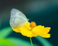 Motylia komarnica w ranek naturze Zdjęcia Royalty Free