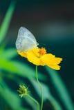 Motylia komarnica w ranek naturze Obraz Stock