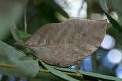 Motylia komarnica w Tajlandia Zdjęcie Stock