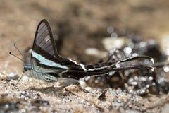 Motylia komarnica w Tajlandia Obrazy Stock