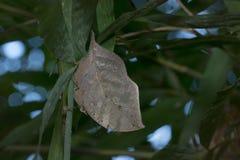 Motylia komarnica w Tajlandia Fotografia Royalty Free