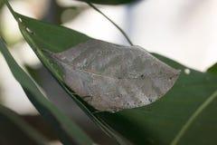 Motylia komarnica w Tajlandia Obrazy Royalty Free