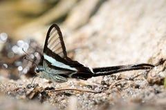 Motylia komarnica w Tajlandia Fotografia Stock