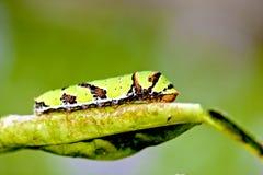 motylia larwa Zdjęcie Royalty Free