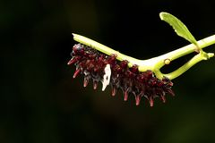motylia larwa Zdjęcia Stock