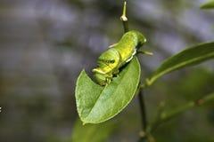 Motylia larwa Zdjęcia Royalty Free