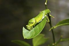 Motylia larwa Obrazy Royalty Free