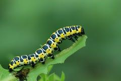 Motylia larwa - gąsienica Zdjęcia Royalty Free