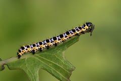 Motylia larwa - gąsienica Obrazy Stock