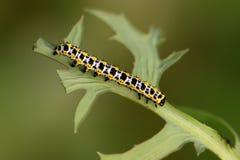 Motylia larwa - gąsienica Obraz Royalty Free