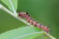 Motylia larwa na liściu patrzeje bardzo okropną Zdjęcia Royalty Free