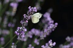 motylia lawenda Zdjęcie Royalty Free