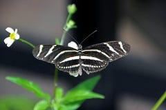 motylia longwing zebra Fotografia Stock