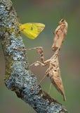 motylia modliszka Fotografia Stock
