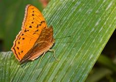 motylia natury monarchiczna scena Zdjęcie Royalty Free