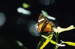 motylia pomarańcze Zdjęcie Stock