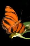 motylia pomarańcze Fotografia Royalty Free