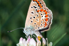 Motylia reprodukcja Zdjęcia Royalty Free