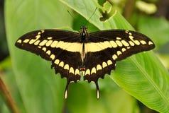 motylia roślina Obrazy Royalty Free