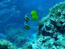 motylia ryba Fotografia Stock