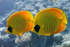 motylia ryba Obraz Stock