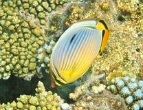 motylia ryba Fotografia Royalty Free