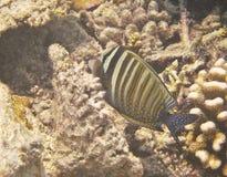motylia ryba Obrazy Royalty Free