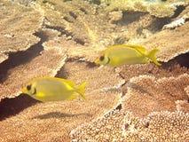 motylia ryba Zdjęcie Stock