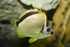 motylia ryba Zdjęcie Royalty Free