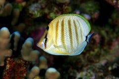 motylia ryba multibanded Obrazy Royalty Free