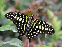 motylia sójka ogoniasta Fotografia Stock