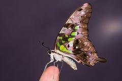 motylia sójka ogoniasta Fotografia Royalty Free