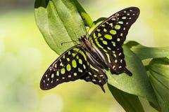 motylia sójka ogoniasta Zdjęcie Royalty Free
