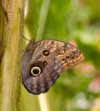 motylia sowa Zdjęcie Stock