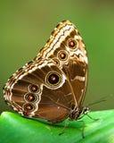 motylia sowa Obrazy Stock