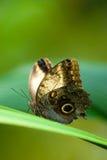 motylia sowa Obrazy Royalty Free