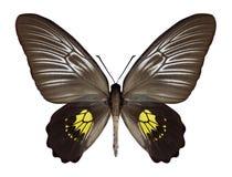 Motylia Troides haliphron kobieta Obraz Stock