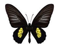Motylia Troides haliphron samiec Obrazy Royalty Free
